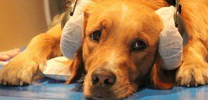 Hunde lassen sich von bedeutungslosen Wörtern mit lobendem Tonfall nicht täuschen - sie erkennen echte Lobphrasen. © Enikö Kubinyi