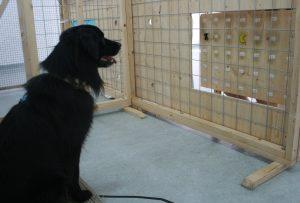 """Wie freigiebig Hunde sind, wurde mit einem für die Tiere schwierigen Test überprüft. """"Spenderhunde"""" konnten anhand von Spielmarken entscheiden ob sie Leckerlis spendieren. (Foto: Rachel Dale/Vetmeduni Vienna)"""