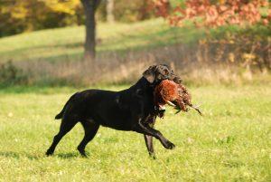 Retriver gehören zu den sogenannten Apportierhunden und eignen sich damit bestens für das Wiederbringen von Kleinwild bei der Jagd. (Foto: Elli Winter/moorhunde.de)